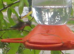 8.21.10 - Hummingbird at Oriole feeder
