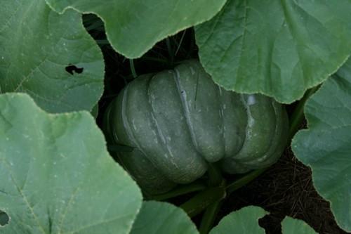 Pumpkin1_2010