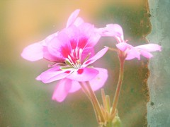 Dreamy Pink Geranium (Chickens in the Trees (vns2009)) Tags: pink summer painterly flower dreamy geranium textured photoradar layered texture01 vpdreamy