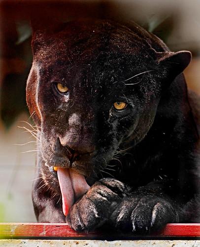 フリー写真素材, 動物, 哺乳類, ネコ科, ジャガー,