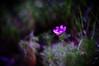 secret garden (moaan) Tags: life flower sign 50mm flora quiet dof bokeh september utata flowering solitary cosmos 2010 f095 dgital canonf095 rd1s inlife epsonrd1s canon50mmf095 solitarylife signofseptember gettyimagesjapanq1 gettyimagesjapanq2
