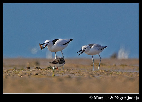 Crab Plover (Dromas ardeola) adult teaching juvenile to feed