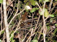 Lémur ratón rufo occidental (Microcebus myoxinus)