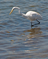 258/365 Egret at Bolsa Chica Wetlands (juliaclark42) Tags: california egret huntingtonbeach day258 bolsachicawetlands project365 365project nikond300