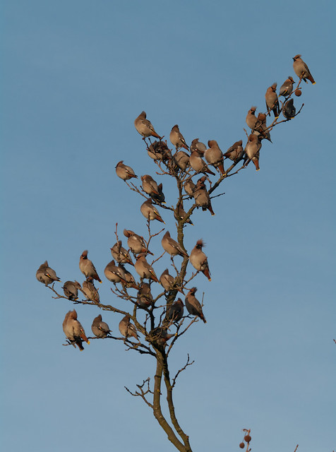 waxwings on branch