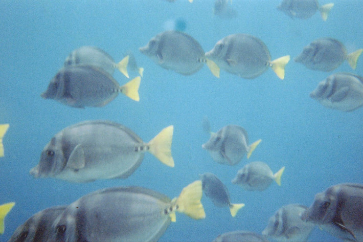 012811_surgeonFish
