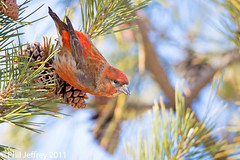Red Crossbill (phil.jeffrey) Tags: usa bird nature wildlife nj finch avian longbranch sevenpresidentspark redcrossbill loxiacurvirostra wwwcatharuscom
