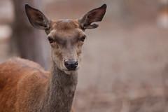 Biche-0001 (philph0t0) Tags: cervuselaphus cerf élaphe cervus deer biche doe cerfélaphe