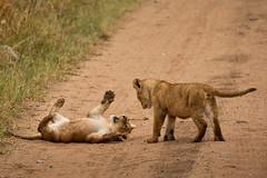 Lions of Maasai Kopjes 433 (Grete Howard) Tags: bestsafarioperator bestsafaricompany africa africansafari africanbush africananimals whichsafaricompany whichsafarioperator tanzania serengeti animals animalsofafrica animalphotos lions lioncubs maasaikopjes kopjes kopje