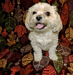 Happy Canada Day To Our Canadian Friends (marilyntunaitis) Tags: happycanadaday dog pet bella