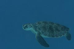 Green Turtle_Something Special_June 2017 C1 (R13X) Tags: bonaire underwaterphotography underwatermacrophotography scubadiving diving denlaman dutchcaribbean dutchislands shorediving nikon nikon105mm nikon60mm d7200 greenturtle turtle barireef somethingspecial saltpier torisreef