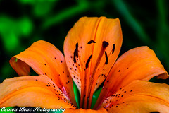Orange Asiatic Lily (vernonbone) Tags: 105mm 1855kitlens 2017 d3200 home june lens lilly ontario orange closeup colors flowers flowersupclosemacro garden marco105mmsigma nikon outside sigma street