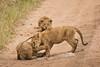 Lions of Maasai Kopjes 442 (Grete Howard) Tags: bestsafarioperator bestsafaricompany africa africansafari africanbush africananimals whichsafaricompany whichsafarioperator tanzania serengeti animals animalsofafrica animalphotos lions lioncubs maasaikopjes kopjes kopje