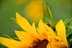 Une coccinelle sur un tournesol (Croc'odile67) Tags: nikon d3300 sigma contemporary 18200dcoshsmc fleurs flowers coccinelle nature tournesol sunflower