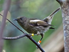 Hihi - female - Ym-OW (digitaltrails) Tags: stitchbird hihi karoribirdsanctuary karori bird sanctuary new zeland karorisanctuary notiomystiscincta newzealand zealandia
