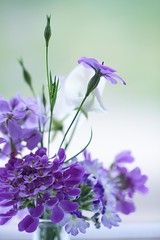 Mostly purple flowers (haberlea) Tags: home athome bouquet purple green vase flowers mixture viscaria