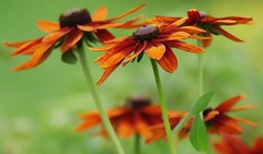Rudbeckia oranges (mamietherese1) Tags: ngc earthmarvels50earthfaves phvalue world100f doublefantasy