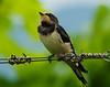 Mirando Al Cielo - Giovane Rondine (G.Sartori.510) Tags: pentaxk1 hdpentaxdfa150450mmf4556eddcaw rondine swallow hirundorustica
