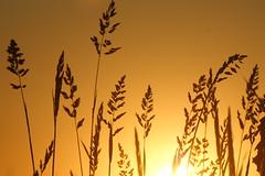 Grass silhouette II (dylan583) Tags: saskatchewan sonydslra700 sonyalpha sonya700 tamronsp45670300usd tamron telelphotolens telephoto sunset backlit silhouette slough plant grass