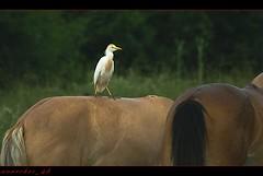 Ippo...stop.  Bubulus Ibis...airone guardabuoi. (romano.mannini) Tags: fauna animali curiosit