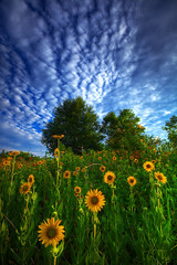 Reaching for the Sun (tobey308) Tags: summer oklahoma field clouds canon sunflowers wildflowers foilage sidelight dramaticlight colorphotoaward saariysqualitypictures thepowerofnow toddtobeyphotography