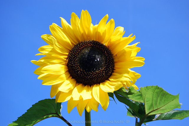 Swiss sunflower
