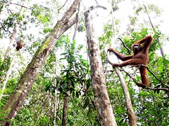 Orangutans in Tanjung Puting National Park