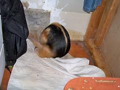 Eldorado finds Pua's pee pad