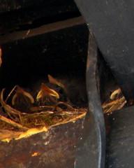 290/365 - Under one roof (rudi_valtiner) Tags: bird birds constructionarea nest baustelle vgel vogel nestling project365 flatz
