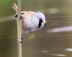 Beardy (Andrew Haynes Wildlife Images) Tags: bird reed nature wildlife norfolk beardedtit canon7d ajh2008