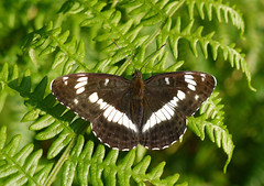 White Admiral butterfly (yvonnepay615) Tags: uk nature woodland butterfly lumix woods forestry norfolk panasonic g1 eastanglia swaffham whiteadmiral coth 1445mm itsawonderfulworld naturallynature