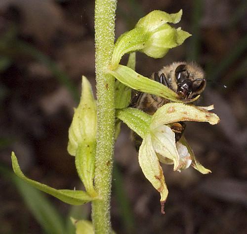 Mangeurs de pollen à orchidées 4762821230_b2a3a6c220