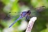 (Emery O) Tags: macro canon dragonfly slatyskimmer 50d macrolife