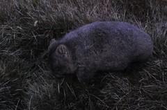 DSC_0343 (Yu-z) Tags: trip travel movie wildlife australia tasmania wombat    d5000
