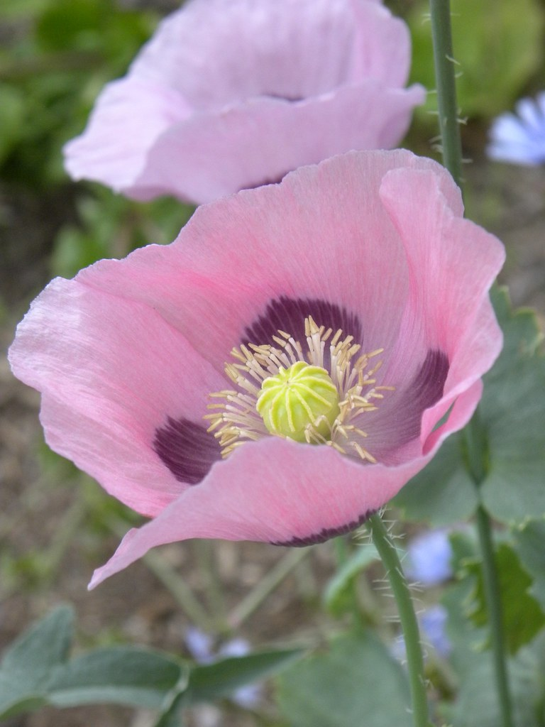 Photo: Oriental Poppy