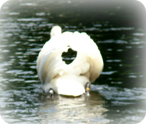REAL SWAN PRETENDING TO BE A SWANBOAT
