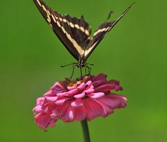 A Teleconverter Moment (Jeff Clow) Tags: flower macro nature closeup butterfly insect dallas texas zinnia teleconverter nikond300 jeffrclow