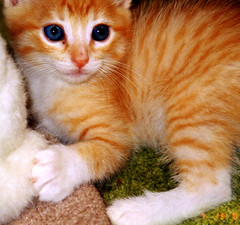 Tony (whaas987) Tags: orange cat painting kitten tabby cutekitten beautifulkitten