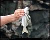 Jarbua Terapon, Terapon jarbua, Fish in Lebs, Mirbat, Dhofar (Shanfari.net) Tags: seascape beach nature lumix fishing raw natural panasonic oman fz zufar ساحل rw2 salalah sultanate dhofar عمان khareef طبيعة mirbat سمك سلطنة ولاية خريف صلالة dufar صلاله صيد ظفار الخريف أسماك محافظة موسم dhufar governorate صارور terapontidae dofar fz38 marbat مرباط fz35 dmcfz35 terapon jarbua teraponjarbua صواريربحر