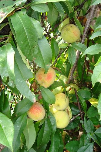 My Peach Tree