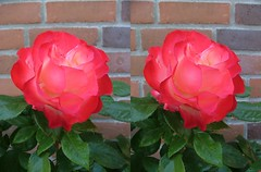 """""""Nostalgia"""" (voxel123) Tags: flowers roses flower floral leaves rose garden photography leaf petals stereoscopic stereogram stereophotography 3d crosseye crosseyed flora petal nostalgia stereo photograph imaging stereopair chacha stereography stereoscopy stereographic freeview stereophotograph stereograms crossview chachamethod xeye stereoscopicimaging"""