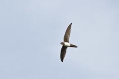 Alpine Swift (Mike Prince) Tags: india birds flickr aves morocco fez medina swifts alpineswift tachymarptismelba fselbali apodidae oldfs