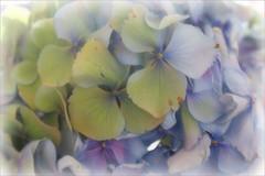 Hortensia (macushla63) Tags: blue flower green groen blauw purple hydrangea paars bloem hortensia