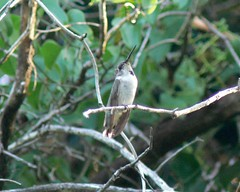 Juvenile Black-chinned Hummingbird