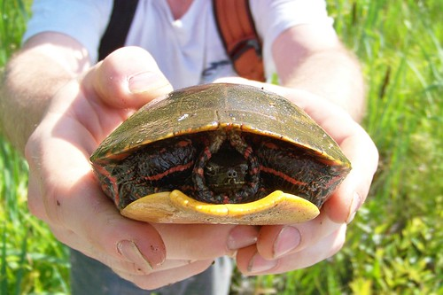 Put-upon Painted Turtle