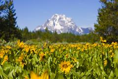 Wild Flowers (Adventure Storys) Tags: park flowers mountain nature landscape grand national cannon wildflowers wyoming teton grandtetonnationalpark
