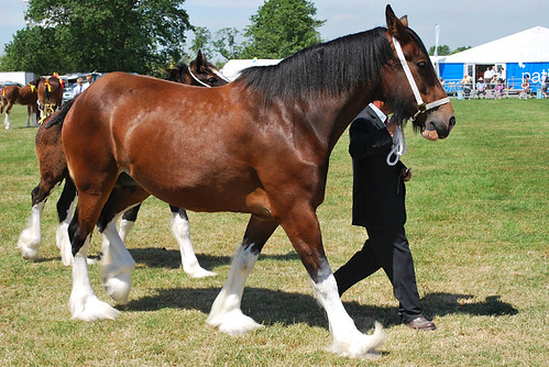 The Cheshire Show: Shire Horses