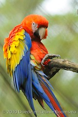 Great Macaw (Doede Boomsma) Tags: bird animal costarica great parrot macaw papegaai papagallo waterfallgardens