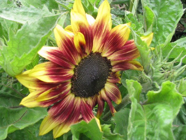 'music box' sunflower