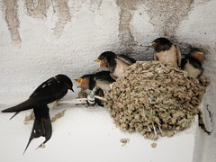 Reclamaciones filiales (.Bambo.) Tags: animal ave barro hirundorustica pjaro cra golondrina hirundo hirundinidae polluelo crecer